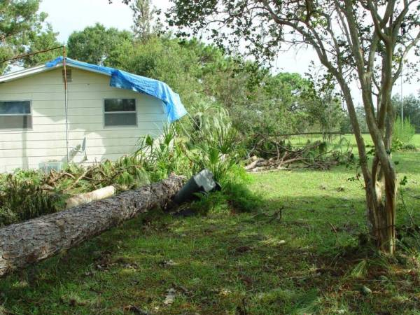 View of Pine Tree that knocked the Royal Palm down onto the Front Left Corner of the House